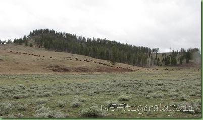 (b)BisonMigratingIn YellowstoneNP