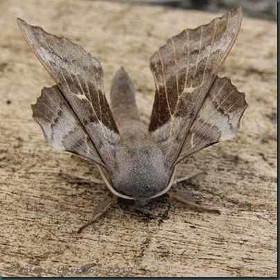 Poplatr-Hawk-Moth-2