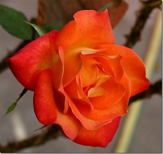 flor día del amor (21)