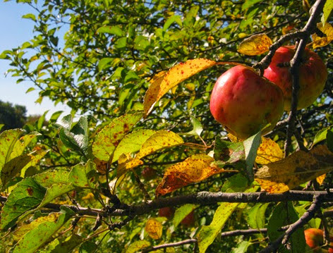 Wild Apple  Tree, Musselman's Lake