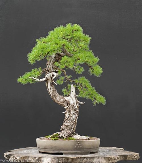 bonsais arvores em miniatura desbaratinando (67)