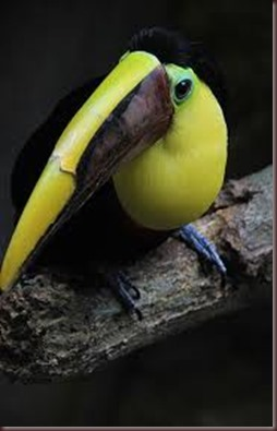 Amazing Pictures of Animals photo Nature exotic funny incredibel Zoo, Ramphastidae, Toucan, Bird, Alex (8)