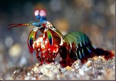 Amazing Pictures of Animals Mantis shrimp stomatopods crustaceans sea locusts (8)