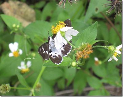 白帶弄蝶2