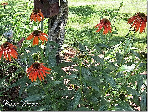 Echinacea_Hot_Papaya_June14