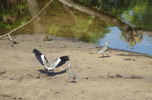 Quero-quero (Portugais), Vanneau téro : Vanellus chilensis MOLINA, 1782 (Charadriidae). Barra do Una (SP). 8 février 2012. Photo : J.-M. Gayman