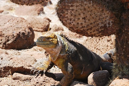 Imagini Galapagos: iguana de uscat la umbra