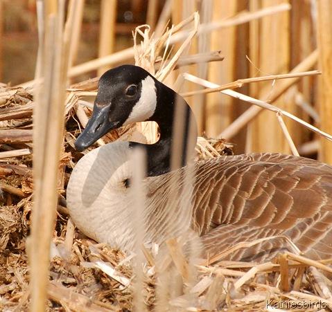 3. goose-kab