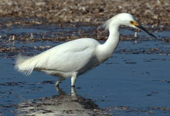little snowy egret