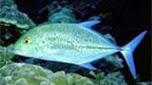 Réunion-Mayotte carangue bleue