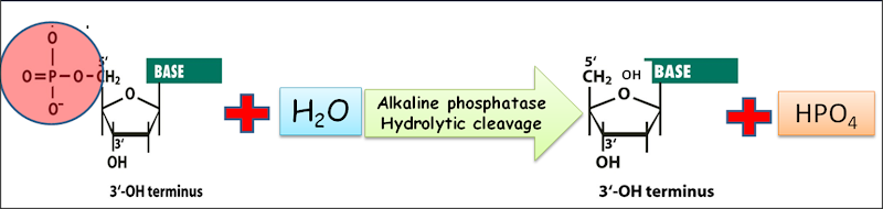 Alkaline phosphatase in rDNA technology