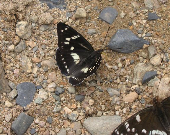 Athymodes (Mimathyma) nycteis MÉNÉTRIÉS, 1859. Cinq km au sud de Novogordeevka près d'Anutchino (Primorskij Kraj, Russie), 3 juillet 2011. Photo : Jean Michel