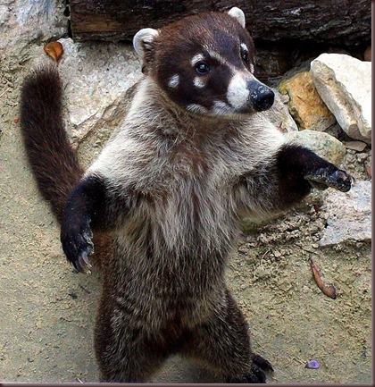 Amazing Pictures of Animals Coati Nasua. Alex (1)