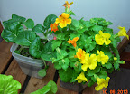 3 week toy choi, 9 week mimulus 10.06.2013