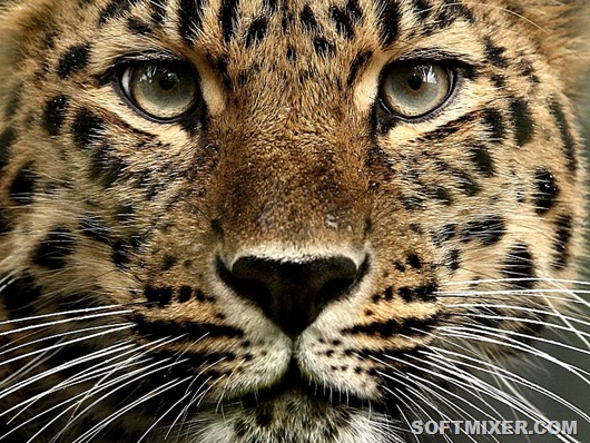 mark-hughes-amur-leopard-15