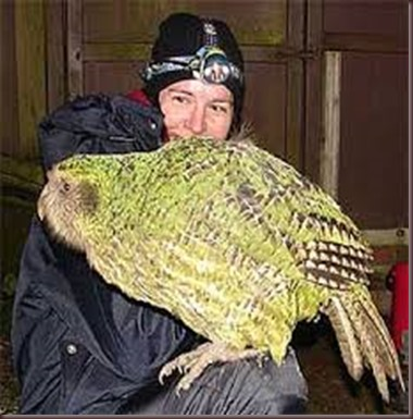 Amazing Pictures of Animals photo Nature exotic funny incredibel Zoo Kakapo birds Aves. Alex (6)