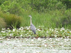 great blue heron 7.25.2013 in the pond lilies1