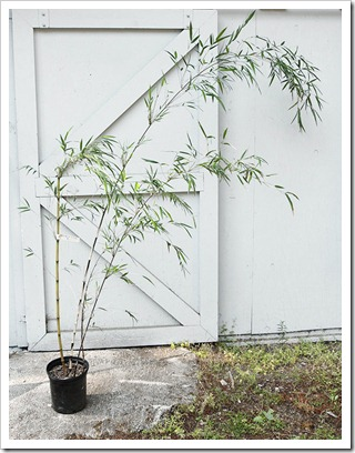 Planting a new bamboo using a backhoe