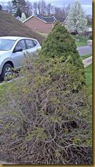 bushes 1