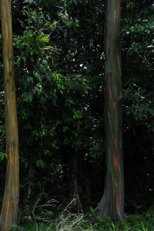 Flora tropicala Costa Rica: Eucalipti