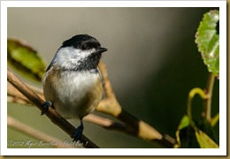 Black-capped Chickadee - Poecile atricapillus,