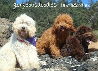 Labradoodles, cream buff,  red, and chocolate coats.<br />