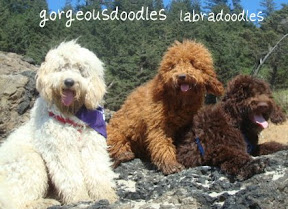 Labradoodles, cream buff,  red, and chocolate coats.<br /> Australian Labradoodle Breeders.