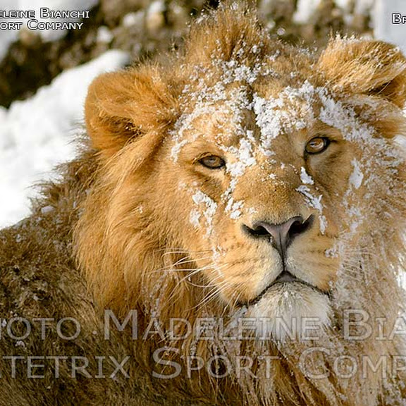 INDIAN LIONS IN THE COLD