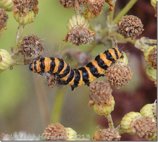 15-cinnabar-caterpillar