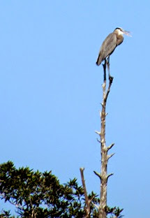 1501067 Jan 21 Heron Up On Top Of Tree