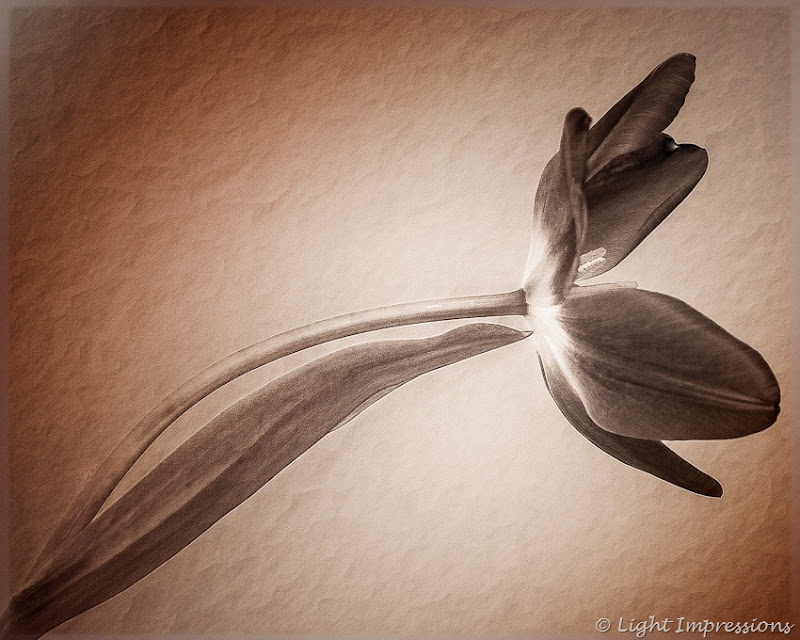 Light Impressions-Tulip