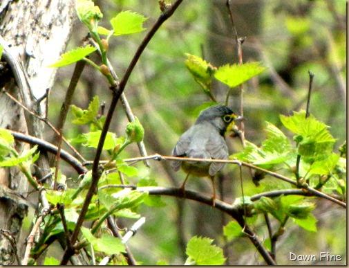 Canada Warbler (1)