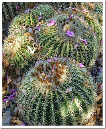 111008_rbg_Echinocactus-grusonii-with-petals-from-Ceiba-speciosa
