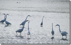 Egrets love to pose