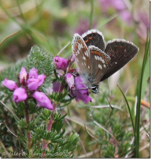62-Northern-brown-argus