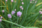 Chive and allium are very similar in color and shape.  These chive flowers will also be beautiful round spheres when fully opened.