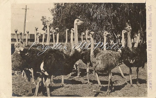Cawson Ostrich Farm Postcard ML Antiques Erhard Minnesota
