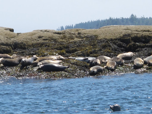 A colony of seals