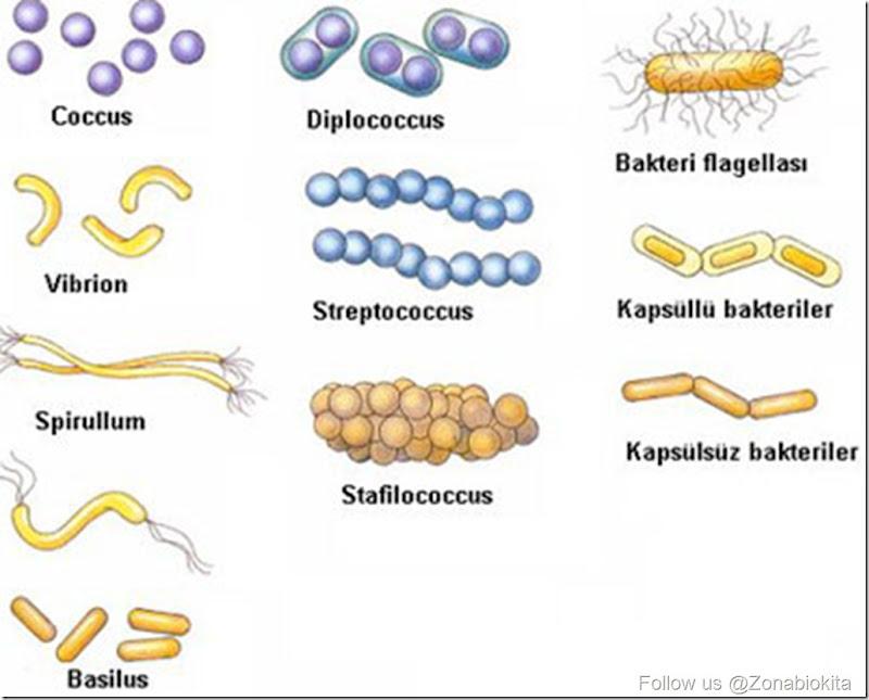 bakteri-cesitleri-nelerdir