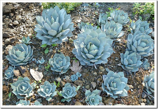 111008_rbg_Agave-parryi-truncata_03