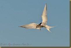 Artic tern with fishD7K_7268  NIKON D7000 June 18, 2011