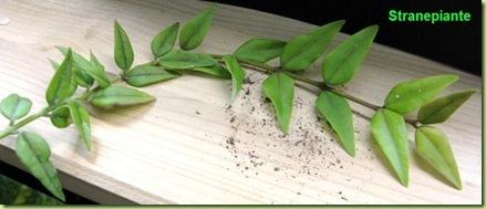 Hoya bella Hoya lanceolata ssp bella