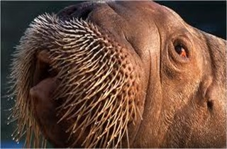 Amazing Pictures of Animals, photo, Nature, exotic, funny, incredibel, Zoo, Walrus,Odobenus rosmarus, Alex (15)