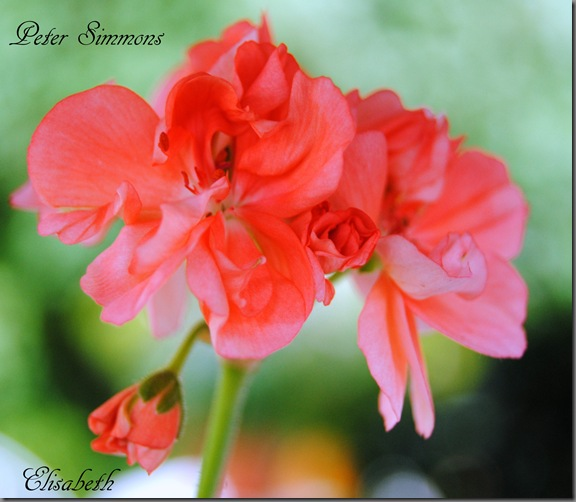 Pelargonium juni-11 124