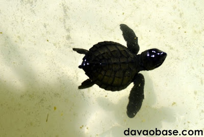 A baby sea turtle swims its way to growth in Pawikan Nesting Sanctuary, Maitum, Sarangani.