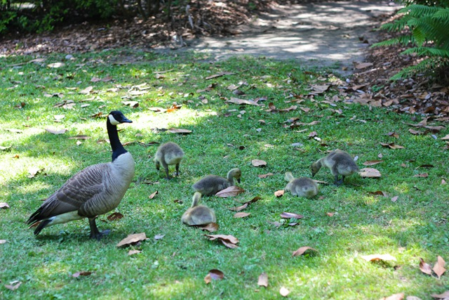 BabyGeese (1 of 1)