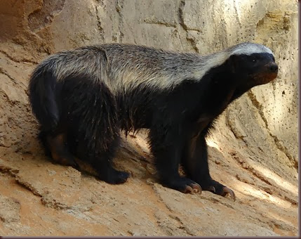 Amazing Animals Pictures  honey badger (Mellivora capensis) (13)