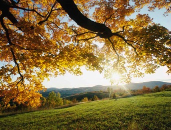 Folhas de bordo no outono.