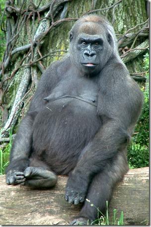 bronx-zoo-congo-gorilla