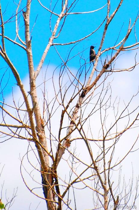 DSC_0014 Lewis' woodpecker-kab